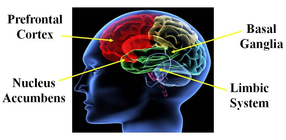 the limbic system essay Or is it basically the limbic system  just one point on the parer the power of smell by vandane mathrani search serendip for other papers.